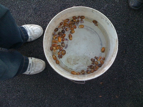 Testing acorn viability
